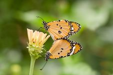 Free Butterfly Love Stock Photography - 19122982