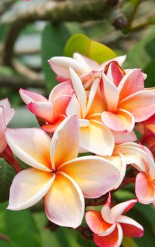 Free Plumeria Flowers Stock Photos - 19123013