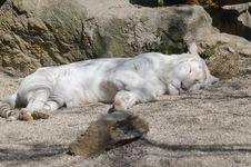 Free Sleeping White Tiger Stock Images - 19123994