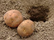 Planting Potatoes Royalty Free Stock Photography