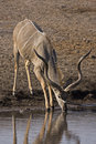 Free Big Greater Kudu Bull Royalty Free Stock Photography - 19139297