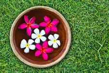 Free Colorful Plumeria Flower Royalty Free Stock Image - 19130066