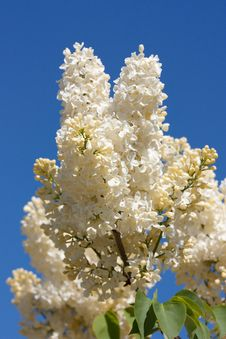 Free Beige Lilac Against Blue Sky Royalty Free Stock Photos - 19130528