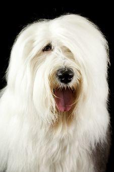 Old English Sheepdog Portrait Royalty Free Stock Image