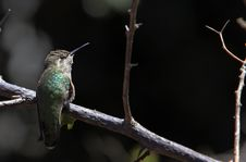 Free Rufous Hummingbird Royalty Free Stock Photo - 19133155