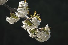 Free Cherry Blossom Branch Stock Photography - 19133582