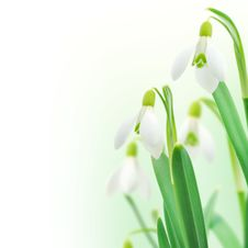 Free Snowdrops Royalty Free Stock Photography - 19133937