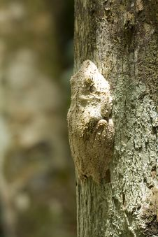Free Tree Frog Stock Images - 19134634