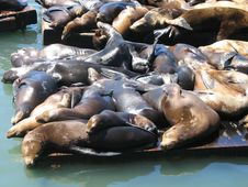 Close Up Of The Sea Lions At Pier 39 Stock Photo