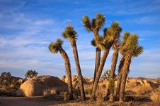 Free Young Joshua Trees Royalty Free Stock Image - 19135896