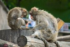 Free Monkeys Royalty Free Stock Photography - 19137457