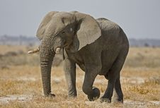 Free Elephant Bull Stock Photo - 19139040