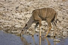Free Greater Kudu Female At Waterhole Royalty Free Stock Photo - 19139115