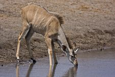 Free Young Greater Kudu Male At Waterhole Stock Image - 19139191