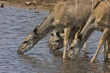 Free Greater Kudu Female At Waterhole Stock Images - 19139374
