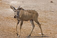 Free Immature Greater Kudu Bull Stock Photo - 19139490