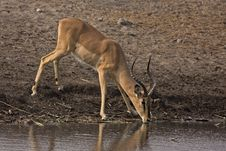 Free Black-faced Impala Ram At Waterhole Royalty Free Stock Image - 19139546