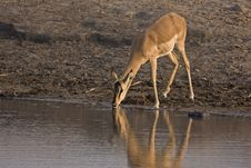 Free Female Black-faced Impala At Waterhole Stock Photography - 19139602