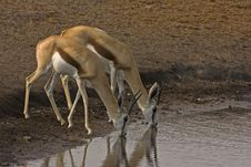Free Two Springbok Drinking Royalty Free Stock Image - 19139686