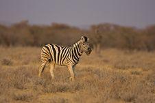 Free Burchells Zebra Walking In Field Royalty Free Stock Photos - 19139748