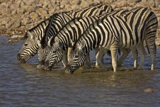 Four Burchells Zebras Standing In Water Royalty Free Stock Image