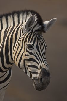 Free Burchells Zebra Portrait Stock Photography - 19139912