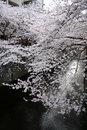 Free Japanese Sakura Cherry Blossoms & Lanterns Stock Photos - 19141663