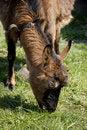 Free Goat Stock Photography - 19144012