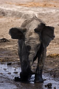 Free Baby Elephant Mock Charging Royalty Free Stock Photos - 19140008