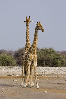 Free Two Giraffes Royalty Free Stock Photo - 19140025
