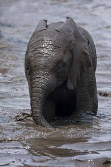 Free Baby Elephant Playing In Muddy Water Stock Photo - 19140030
