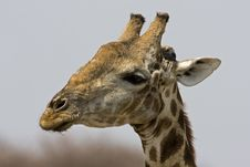 Free Close-up Of Giraffe Head Royalty Free Stock Photography - 19140167