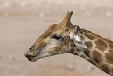 Free Close-up Of Giraffe Head And Neck Royalty Free Stock Photography - 19140197