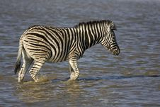 Free Young Burchells Zebra Walking In Waterhole Stock Photo - 19140290