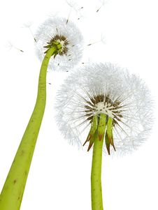 Free 3d Dandelions Royalty Free Stock Photography - 19140547