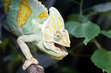 Free Chameleon  With Open Mouth Royalty Free Stock Images - 19140719