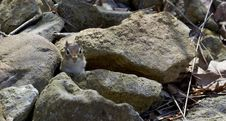 Free I See You Mr Chipmunk Stock Photos - 19140893