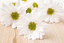 White Chrysanthemum - Very Shallow Depth Of Field Royalty Free Stock Photos