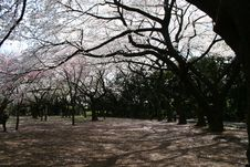 Free Japanese Sakura Cherry Blossoms Stock Images - 19141504