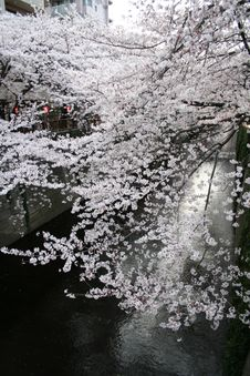 Japanese Sakura Cherry Blossoms & Lanterns Royalty Free Stock Photo
