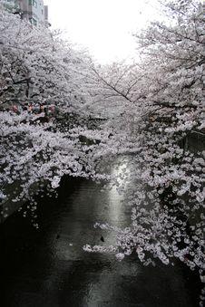 Free Japanese Sakura Cherry Blossoms & Lanterns Royalty Free Stock Images - 19141699