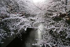 Free Japanese Sakura Cherry Blossoms & Lanterns Stock Photography - 19141712