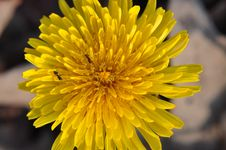 Free Dandelion Royalty Free Stock Photography - 19141717