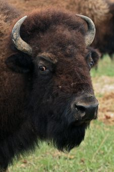 Free Bison Stock Image - 19142131