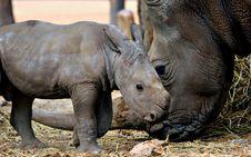Free White Rhino Mother And Calf Stock Image - 19142181