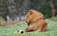 Free Lion Seating Stock Photography - 19142202