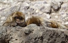 Free Lazy Macaque Royalty Free Stock Photos - 19142218