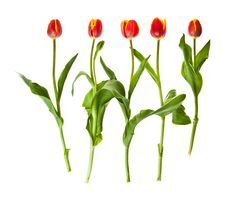 Free Tulip Flowers Royalty Free Stock Images - 19145519