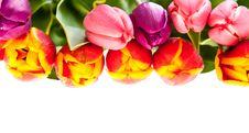 Free Tulip Flowers Stock Photography - 19145592
