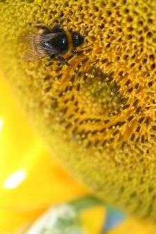Free Bee Sunflower Royalty Free Stock Photography - 19146217